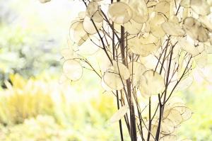 Lunaria annua, silver dollark plant, money plant, or honesty